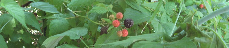 Black Raspberry Leaves, Shoots, and Berries